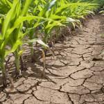 Visoke temperature i dugotrajno sušno razdoblje pričinilo velike štete na posavskim oranicama